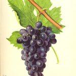vin cépage cinsault