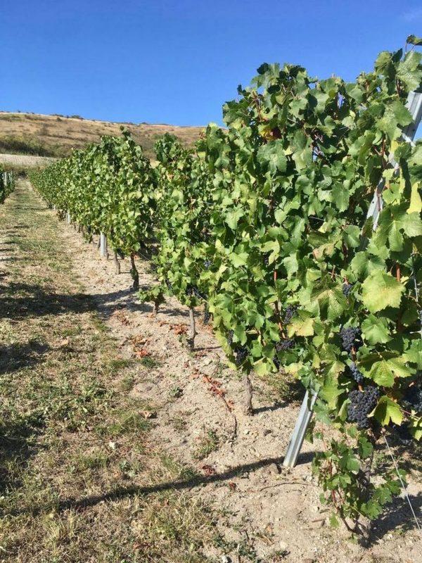 Dégustation dans les vignes en Auvergne