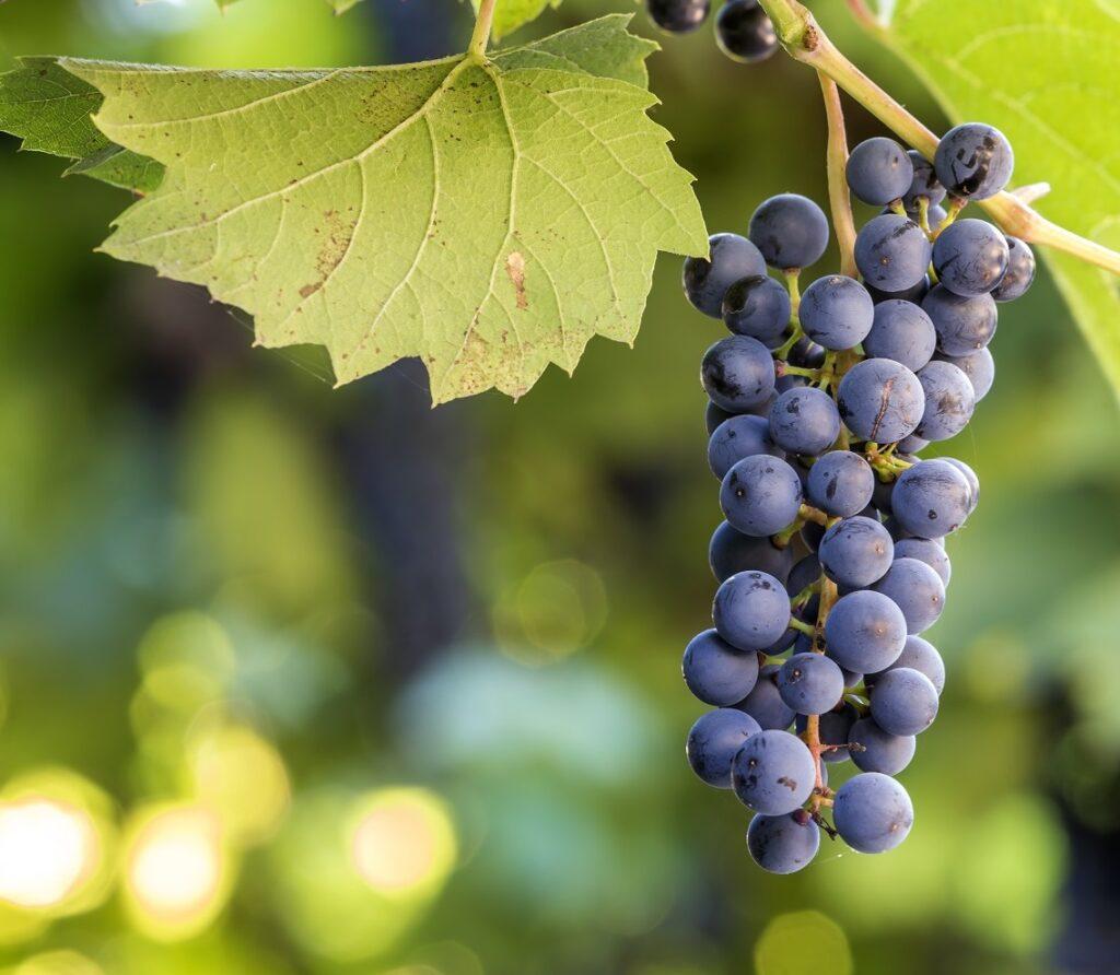 Raisin noir oenofeel vin nature